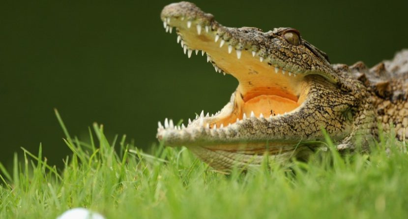 Golfers Save Friend From Crocodile Attack