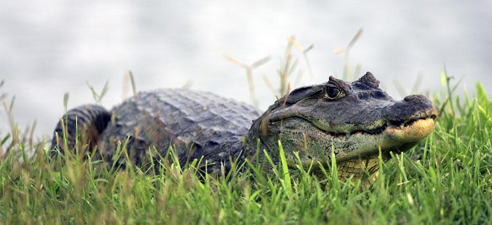 alligator_anchor