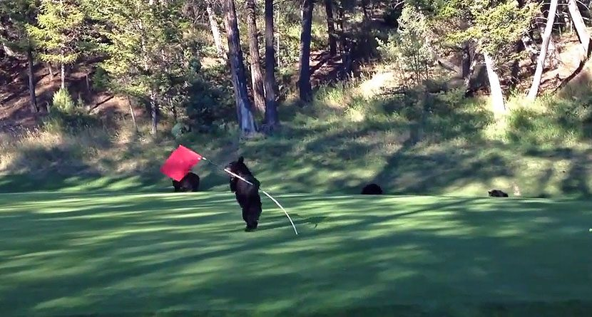 Grin And Bear It: Cub Has A Blast With A Flagstick
