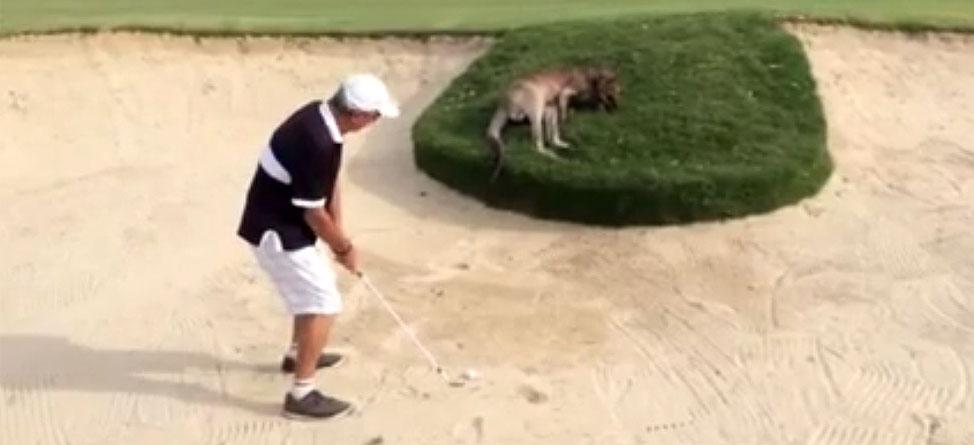 Hopping Hazard: Golfer Hits Shot Over Sun-Bathing Kangaroo