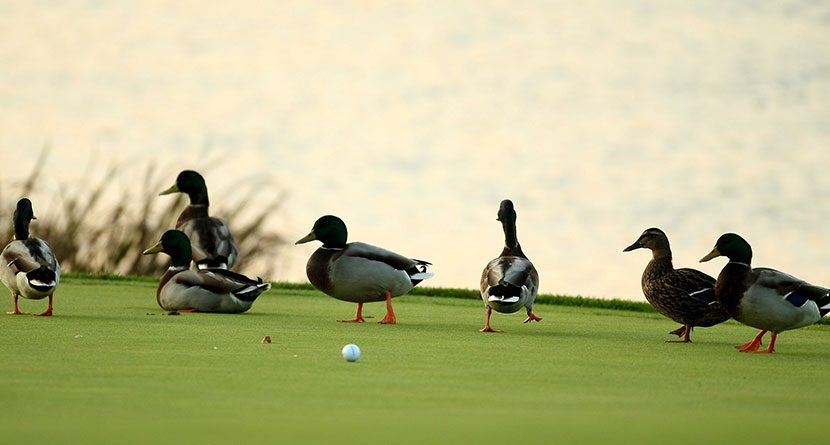 Bird Snatches Golf Ball & The Top On-Course Animal Encounters