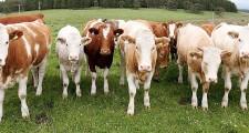 Rampaging Cattle Destroy Popular Irish Golf Course