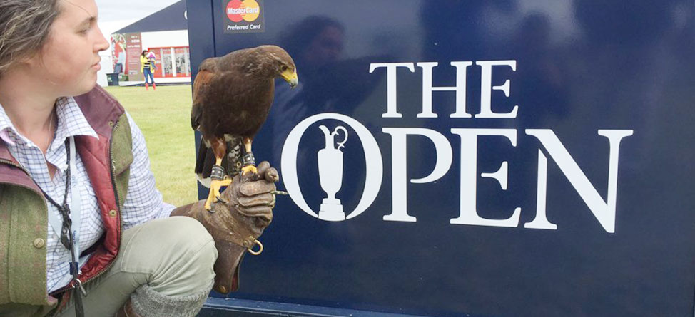 Trained Hawks Are Chasing Seagulls Off Royal Troon