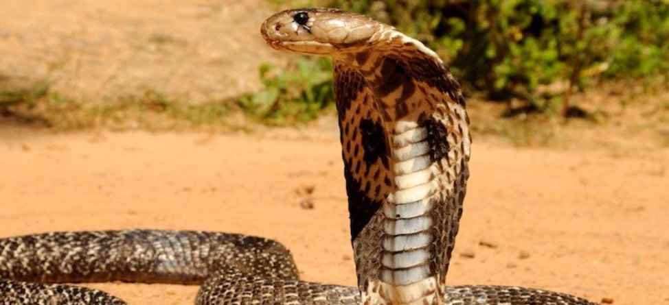 This Is What A Cobra On A Golf Course Looks Like
