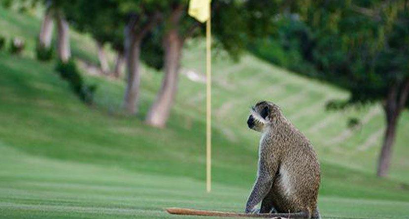 Monkeys Attack Golfers During Their Round