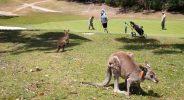 Kangaroos, Tourists Invade Australian Golf Course