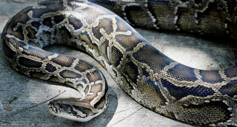 Python Unleashes Nature's Wrath On Golf Course