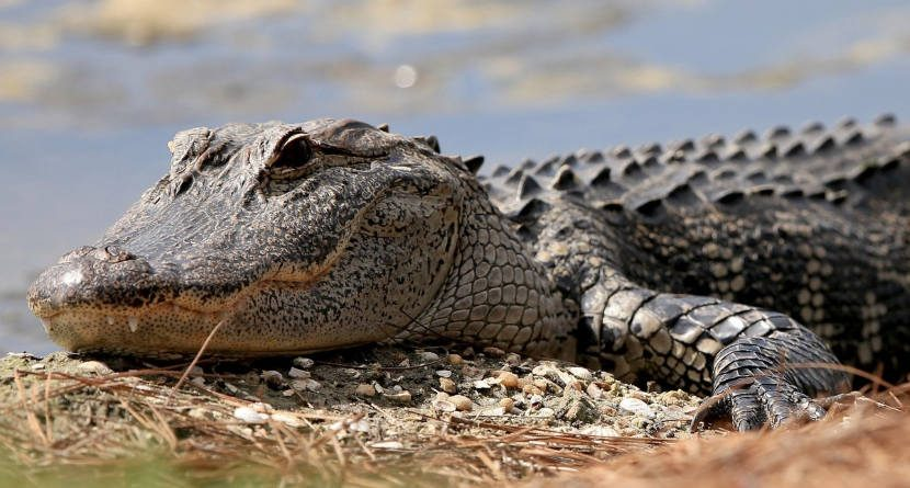Florida Golfer Rescues Dog From Gator Attack
