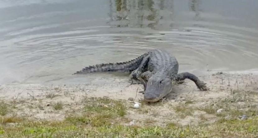 Watch: Florida Gator Eats Golf Ball