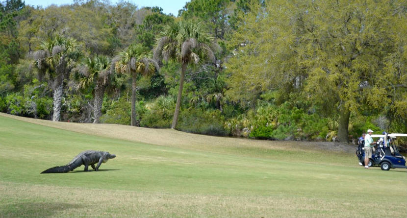 Two Massive Alligators Spotted on S.C. Courses