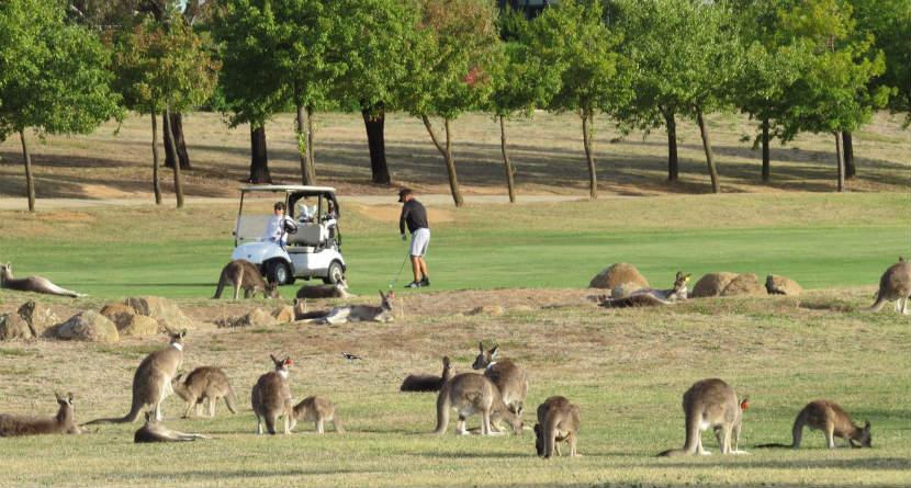Kangaroo Mob Invades Aussie Golf Course