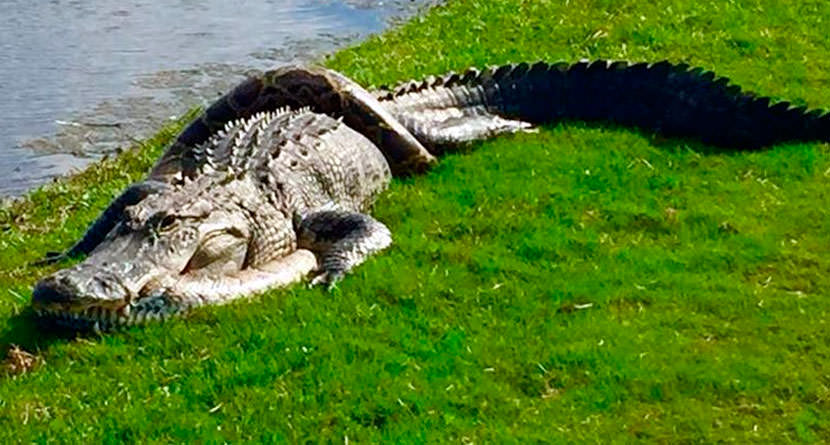 Golfers Find Alligator and Python Intertwined