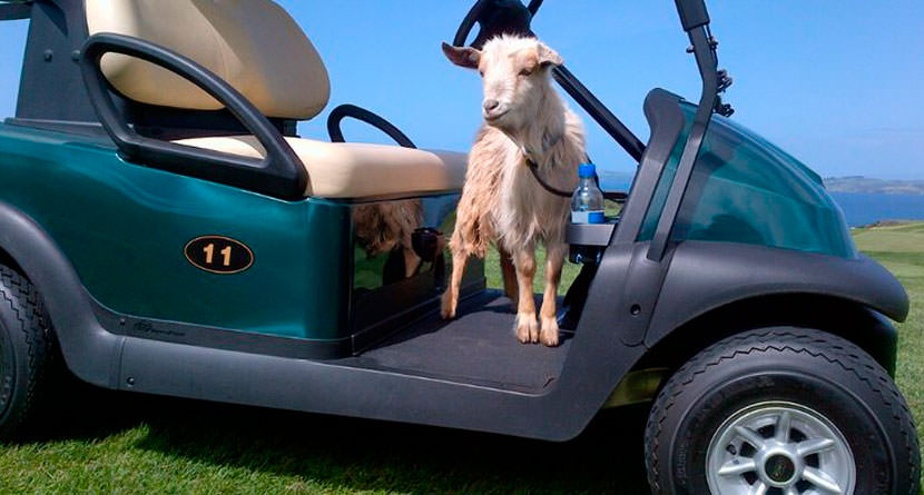 Oregon Golf Course to Offer Trained Goat Caddies