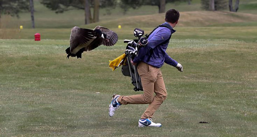 High School Golfer Gets Chased Down By Angry Goose