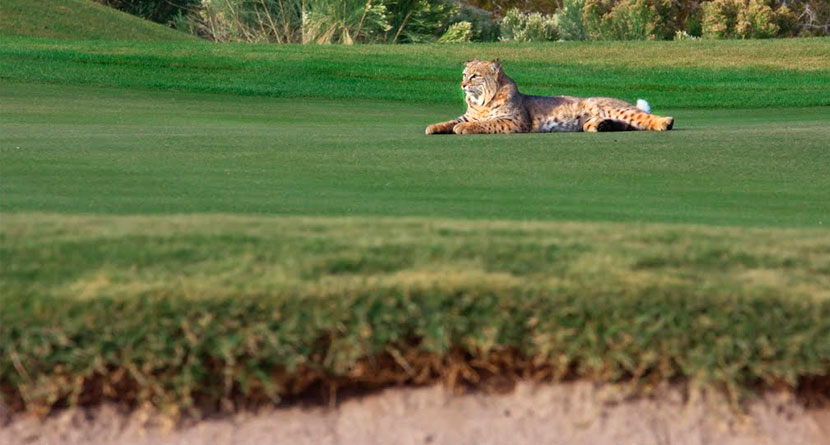 Bobcat Attacks Connecticut Golfer On The Course