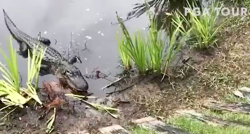 Alligator Eats Snake At Zurich Classic Of New Orleans