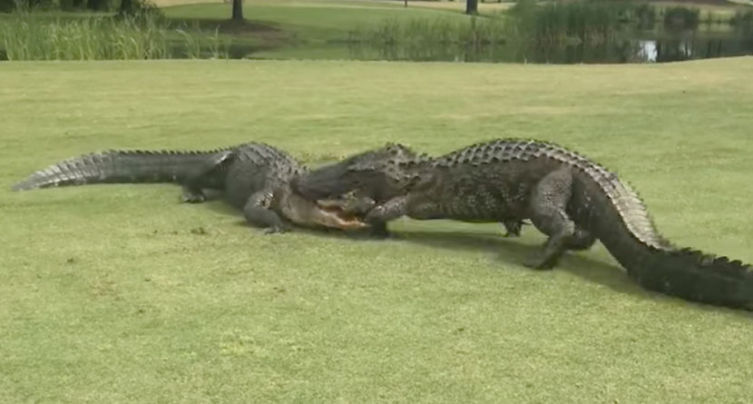 Two Gators Battle In 18th Fairway Of S.C. Course
