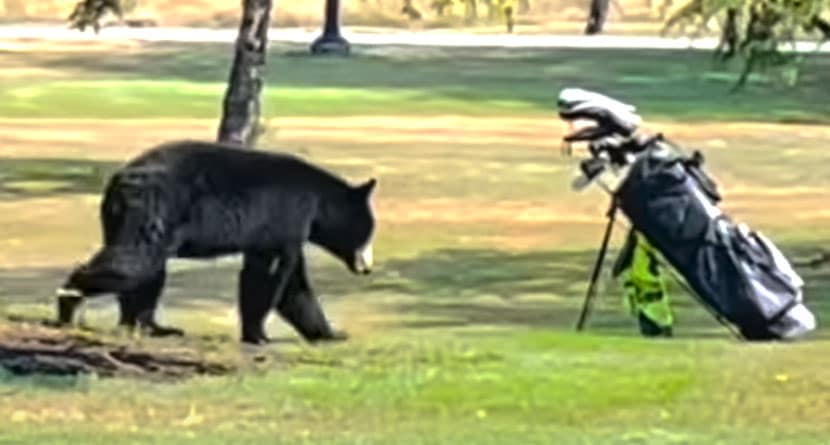 Bear Charges At Golfer On Canadian Golf Course